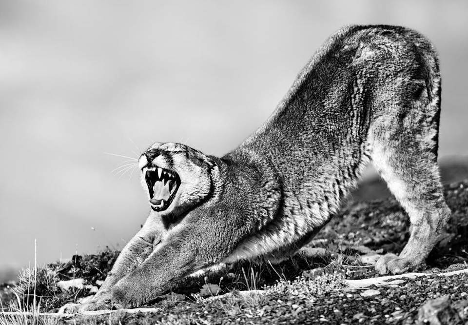 Puma Wildlife photography tour and expeditions