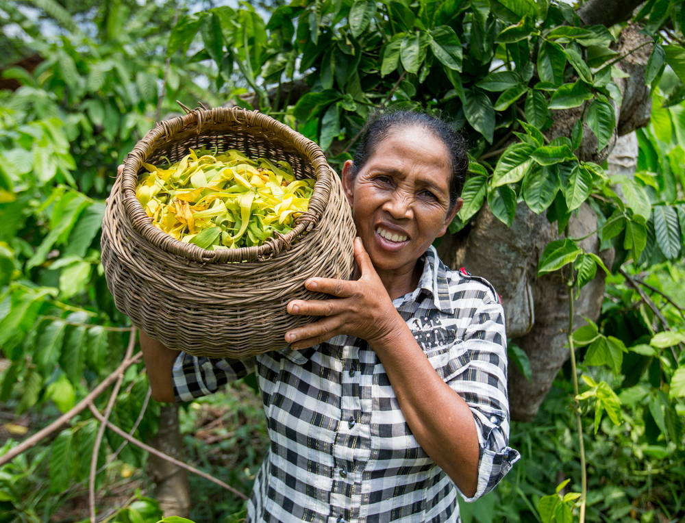 lady with box of ylang ylang flowers ready to make essential oil