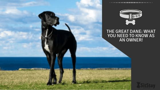 The Great Dane: What You Need To Know As An Owner