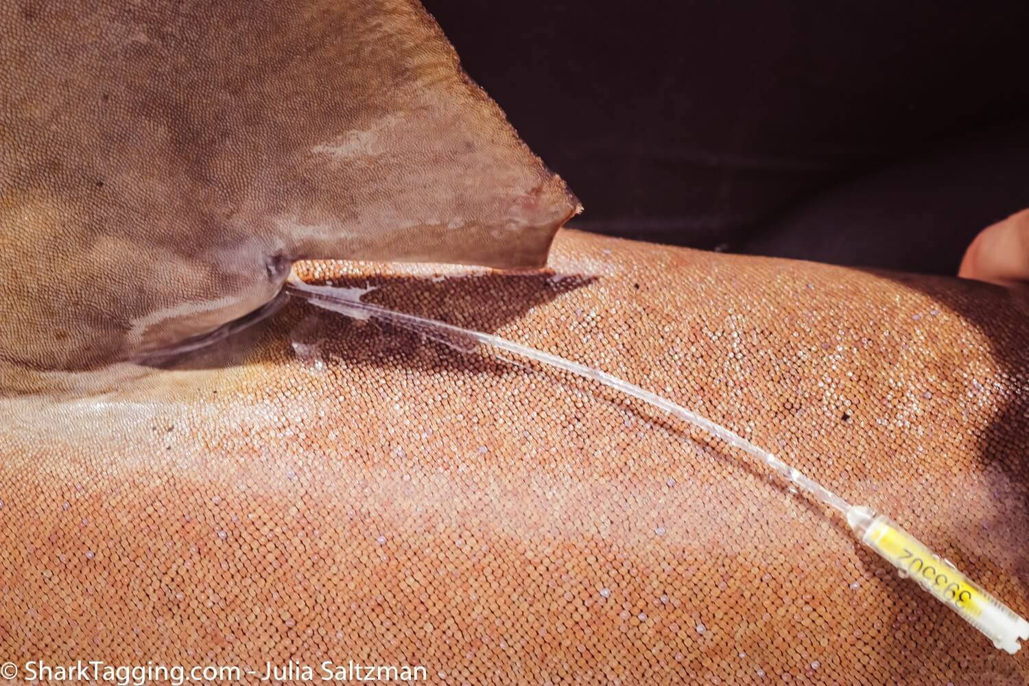 Close up view of an ID tag affixed to the back bottom edge of a nurse shark's dorsal fin.