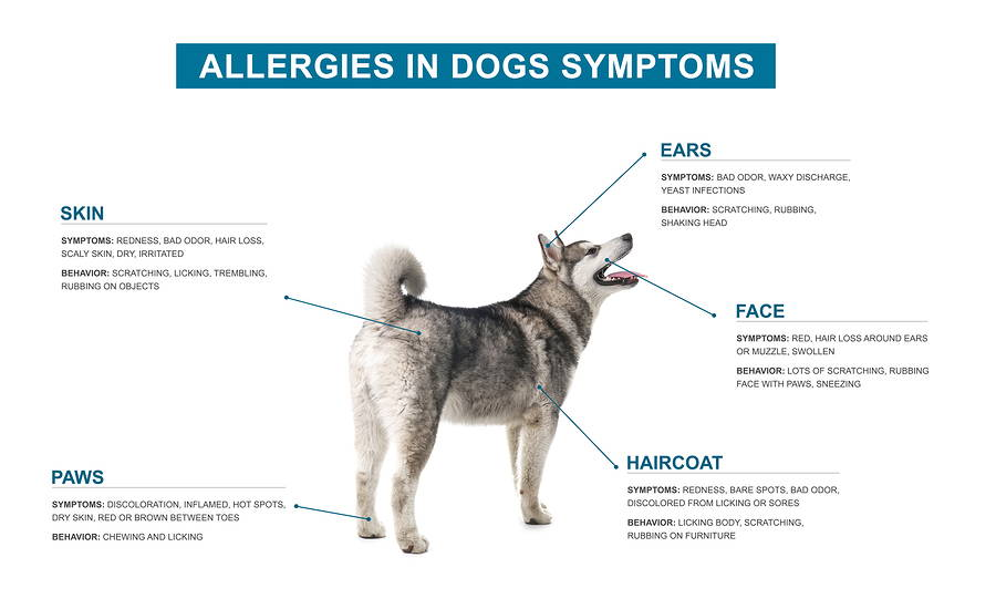 Allergies in dogs symptoms: skin, ears, paws, face, coat.