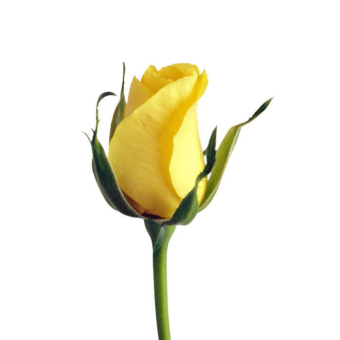 Yellow Rose - Melbourne Cup Day