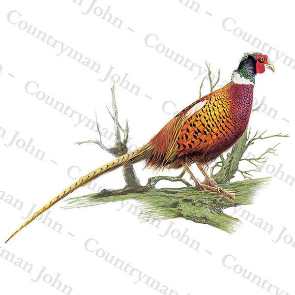 Countryman John Cock Pheasant on Branch Artwork - 1002