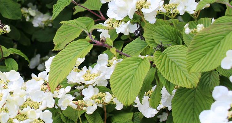 Climbing Hydrangea: Easy and Beautiful