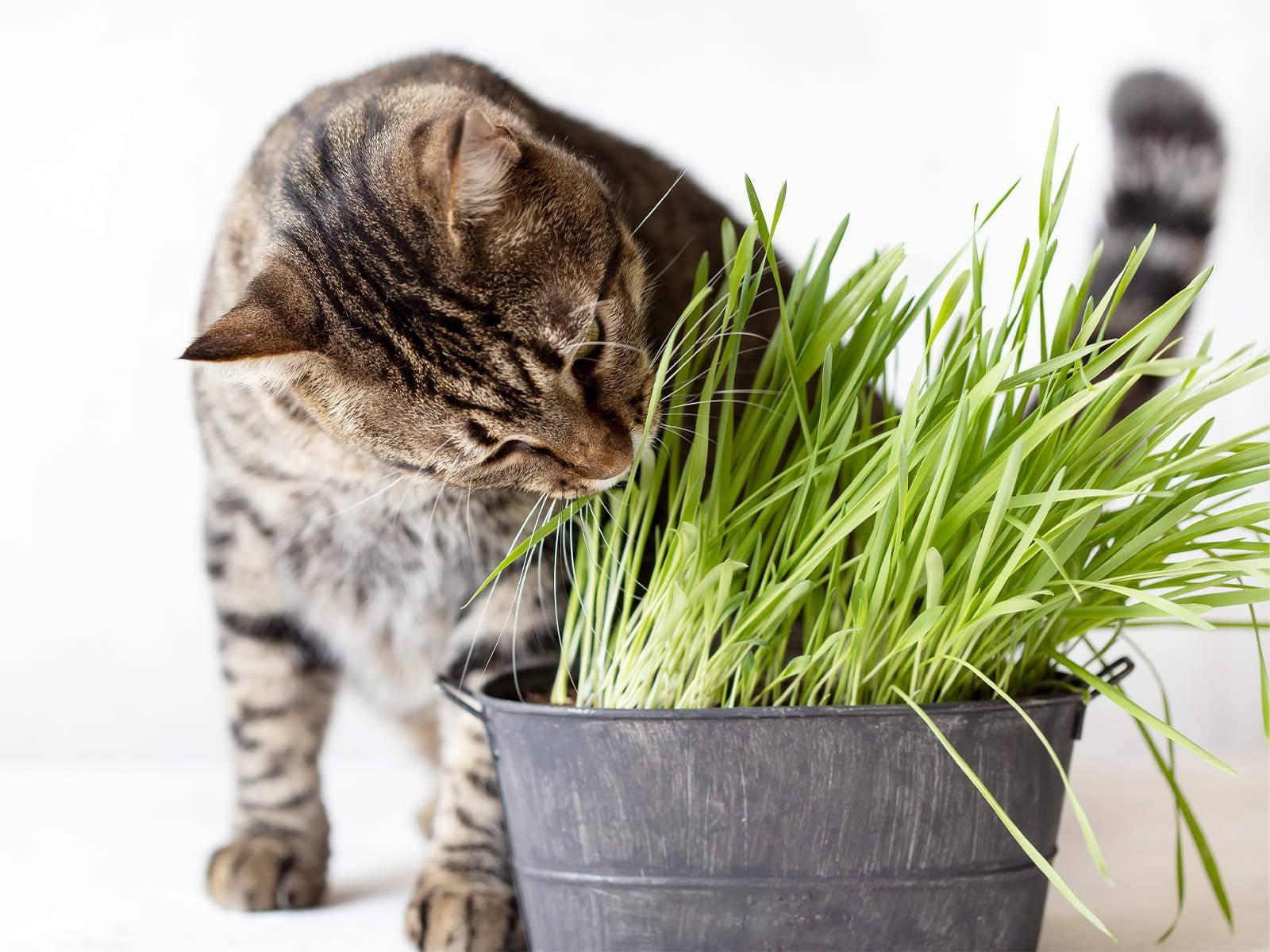 Katzengras Wirkung Vorschaubild