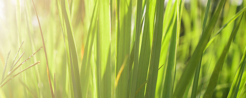 Rhodinol rich lemongrass essential oil