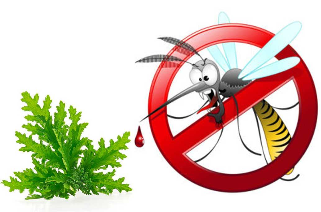 Citronella Plant Mosquito Repellents