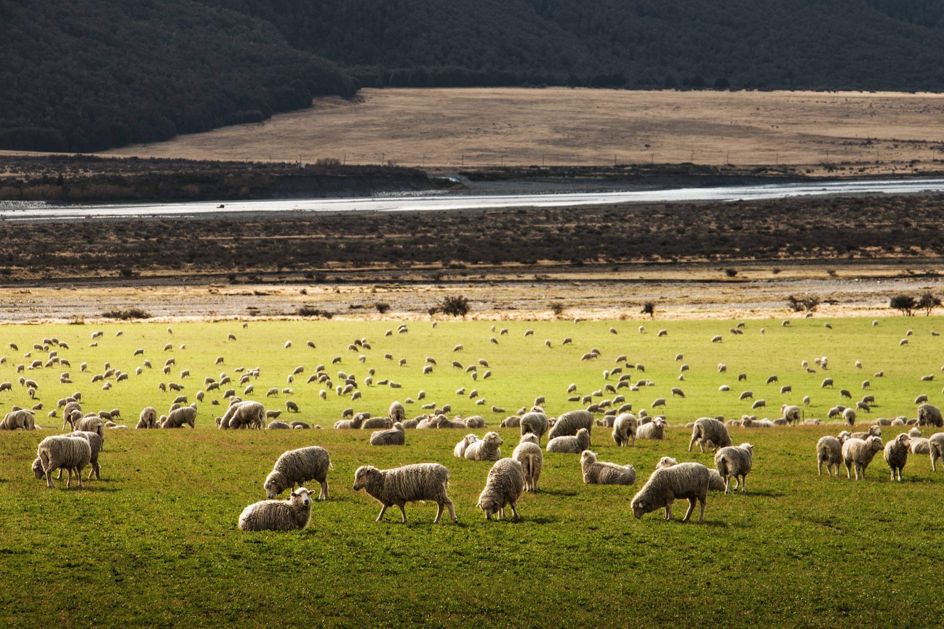 Sheep graze in field with slight rolling hills in background.