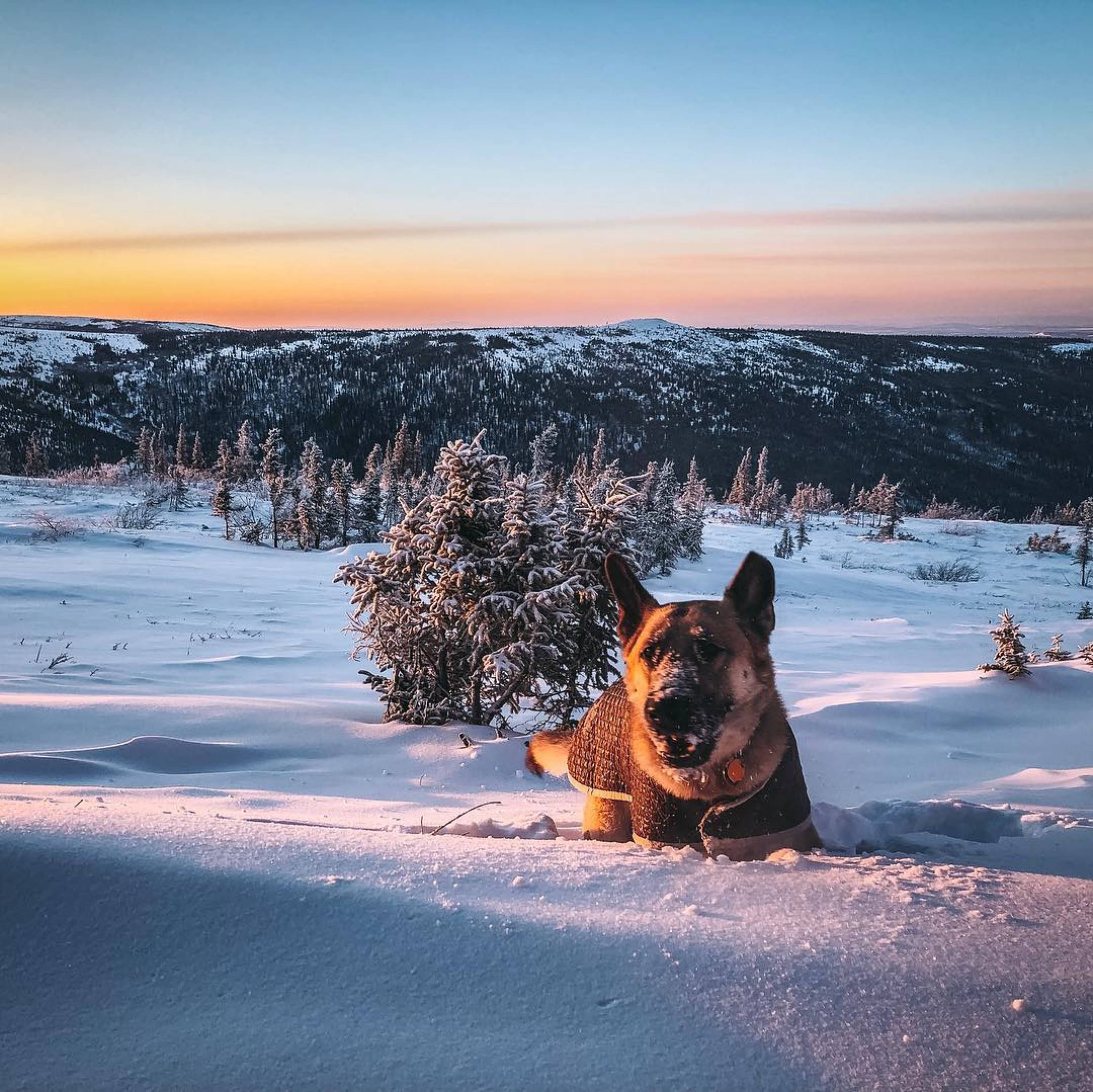 german shepherd dog hiking in snow mountains