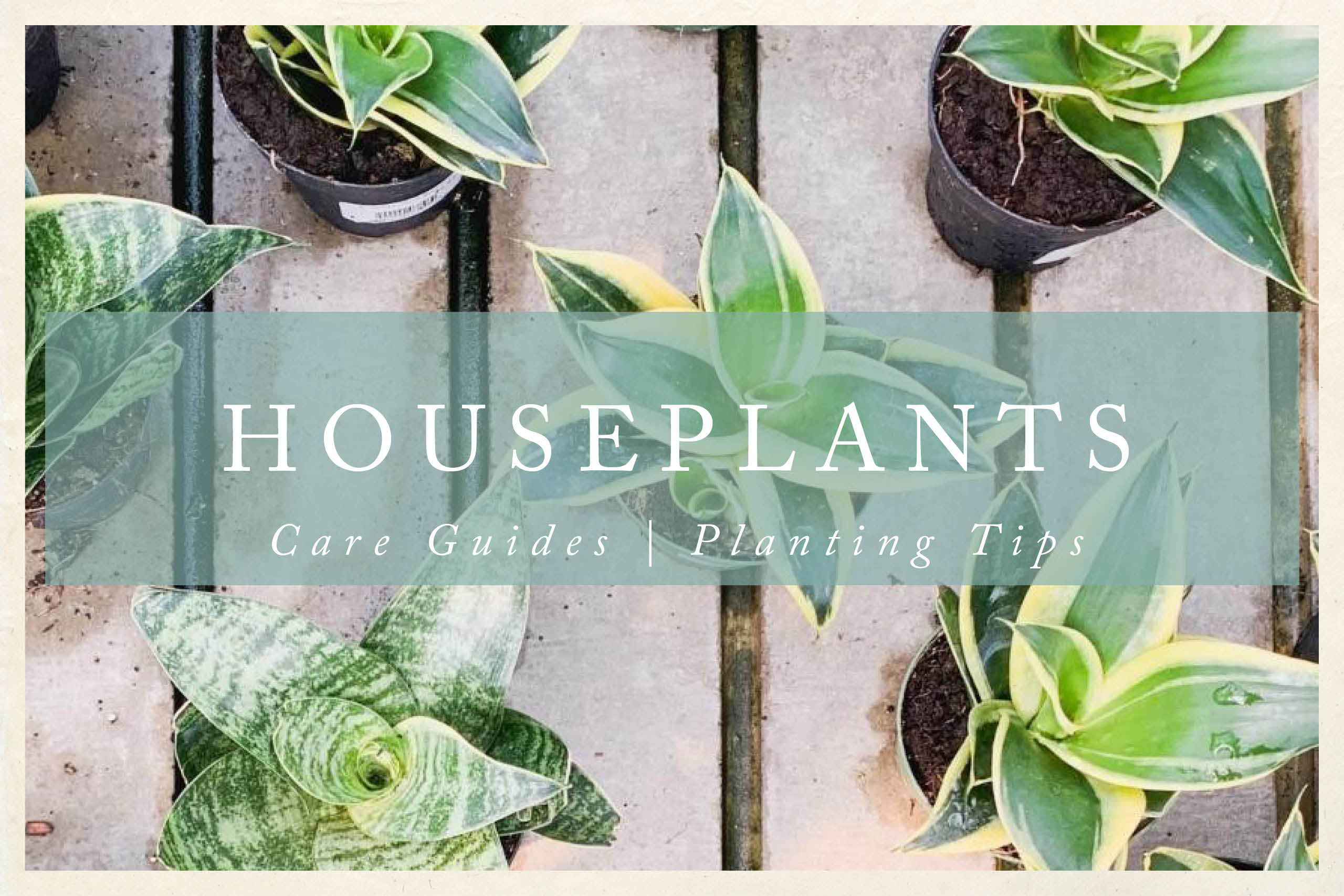 Houseplant Care Guides | Houseplant tips