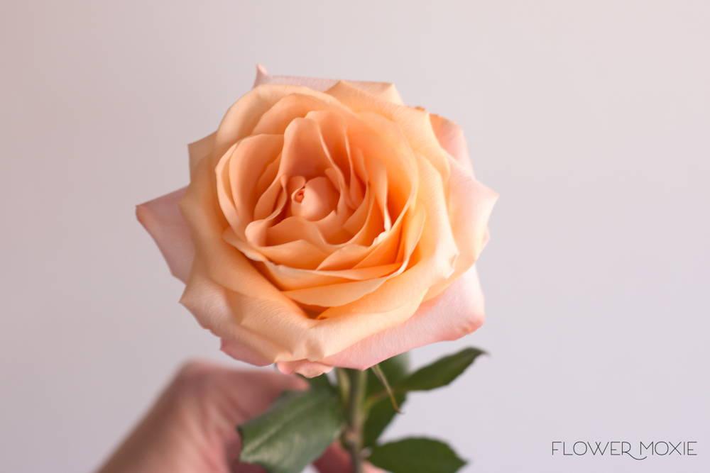 Tiffany Peach Roses