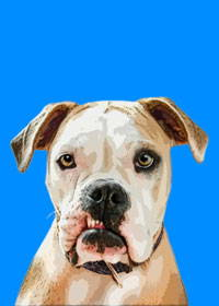 pitbull pop art portrait