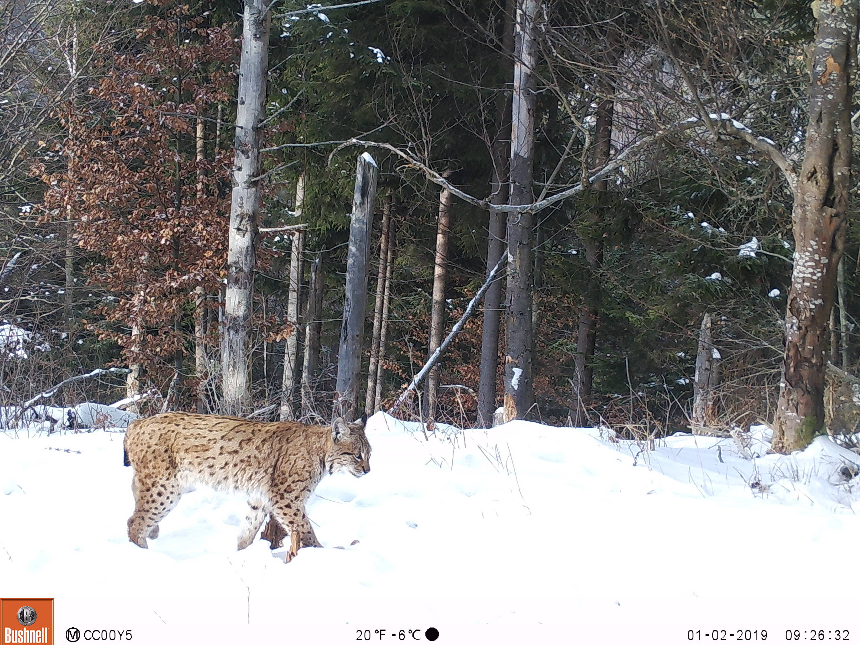 A camera trap captures a lynx walking through a snowy trail in the forest