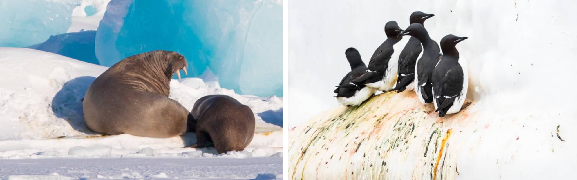 Peguins of Svalbard Norway Wildlife photography tour and expeditions