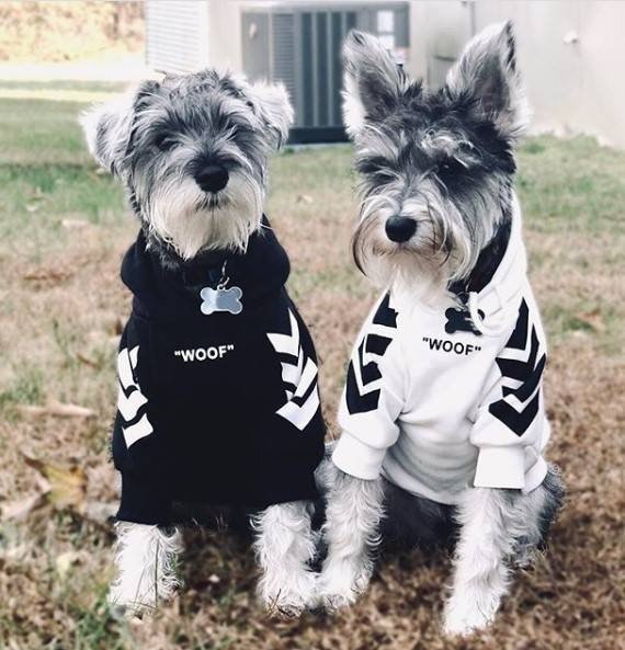 Schnauzers Wearing the