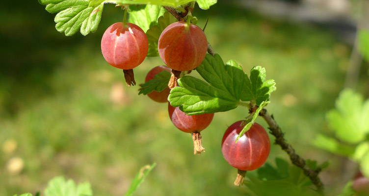 Pruning Gooseberry