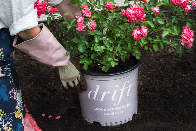 How to Plant Drift Roses