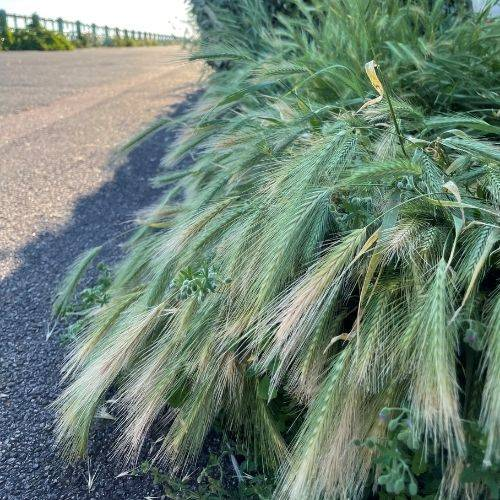 Grass Seed could ne a silent threat to your dogs heath
