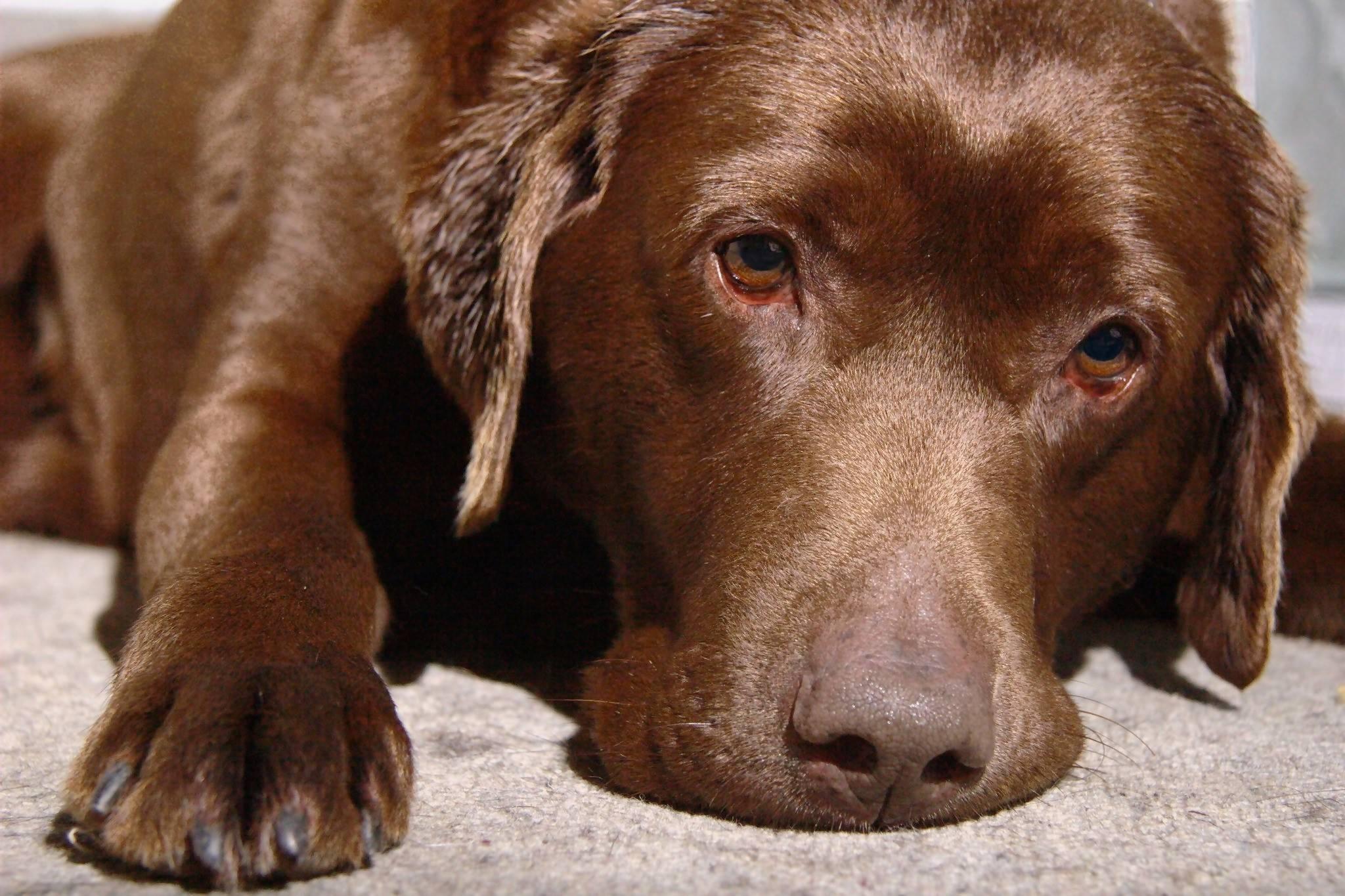 A stressed Chocolate Labrador