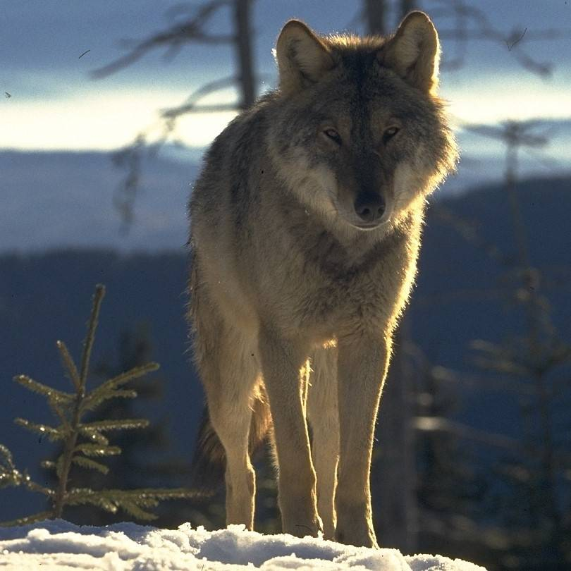 A wolf in Romania's Southern Carpathians