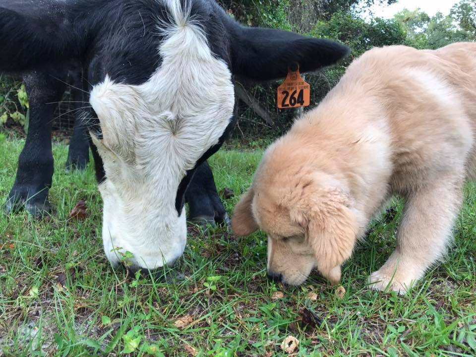 cow and golden retriever puppy eating grass