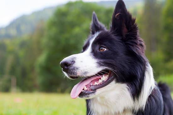 A border collie stands and looks in the distance in front of trees and hills