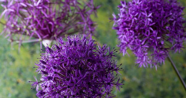 Allium, wunderschöner Zierlauch