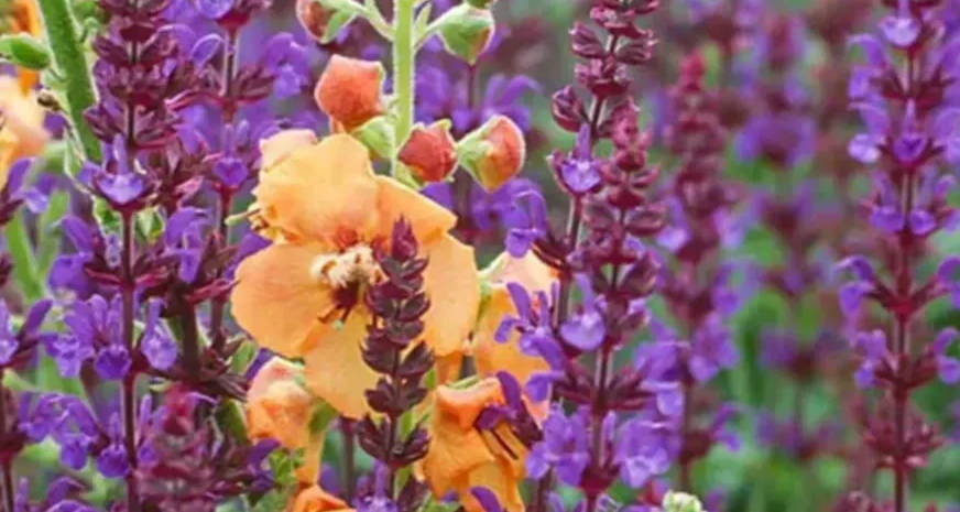 Mix & Match: 'Fairy Tale' Salvia & Verbascum