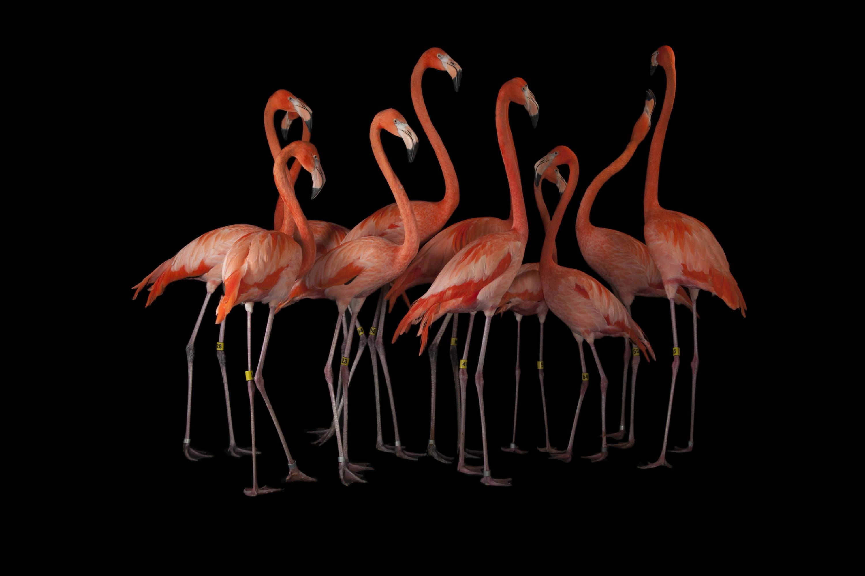 National Geographic Photo Ark Flamingo