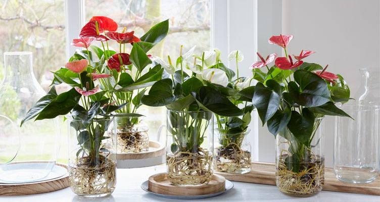 Dernière tendance : Anthurium sur eau !