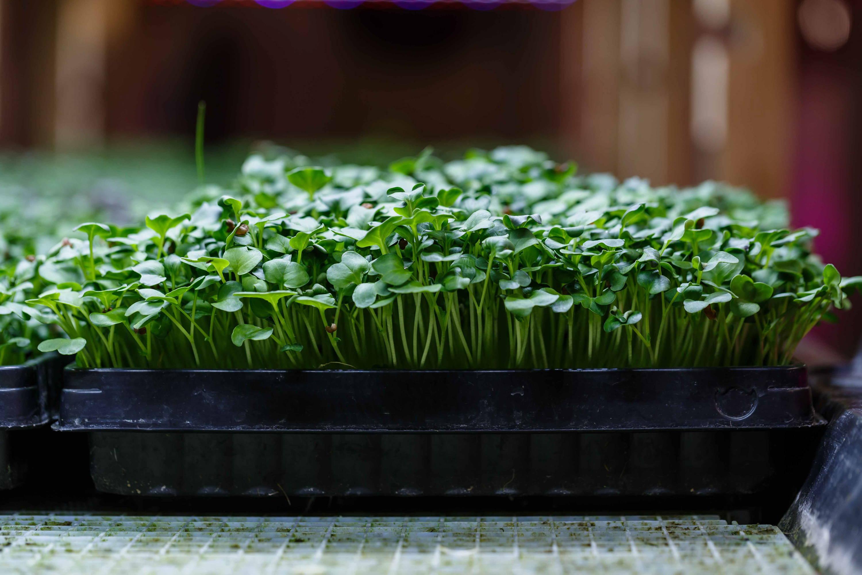Rettich Microgreens im Ökosystem am wachsen.