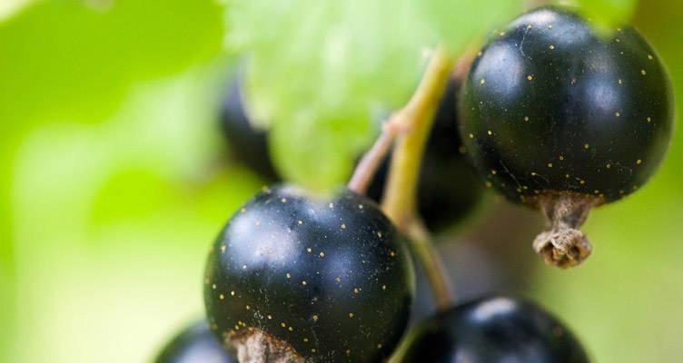 come potare il Ribes nero