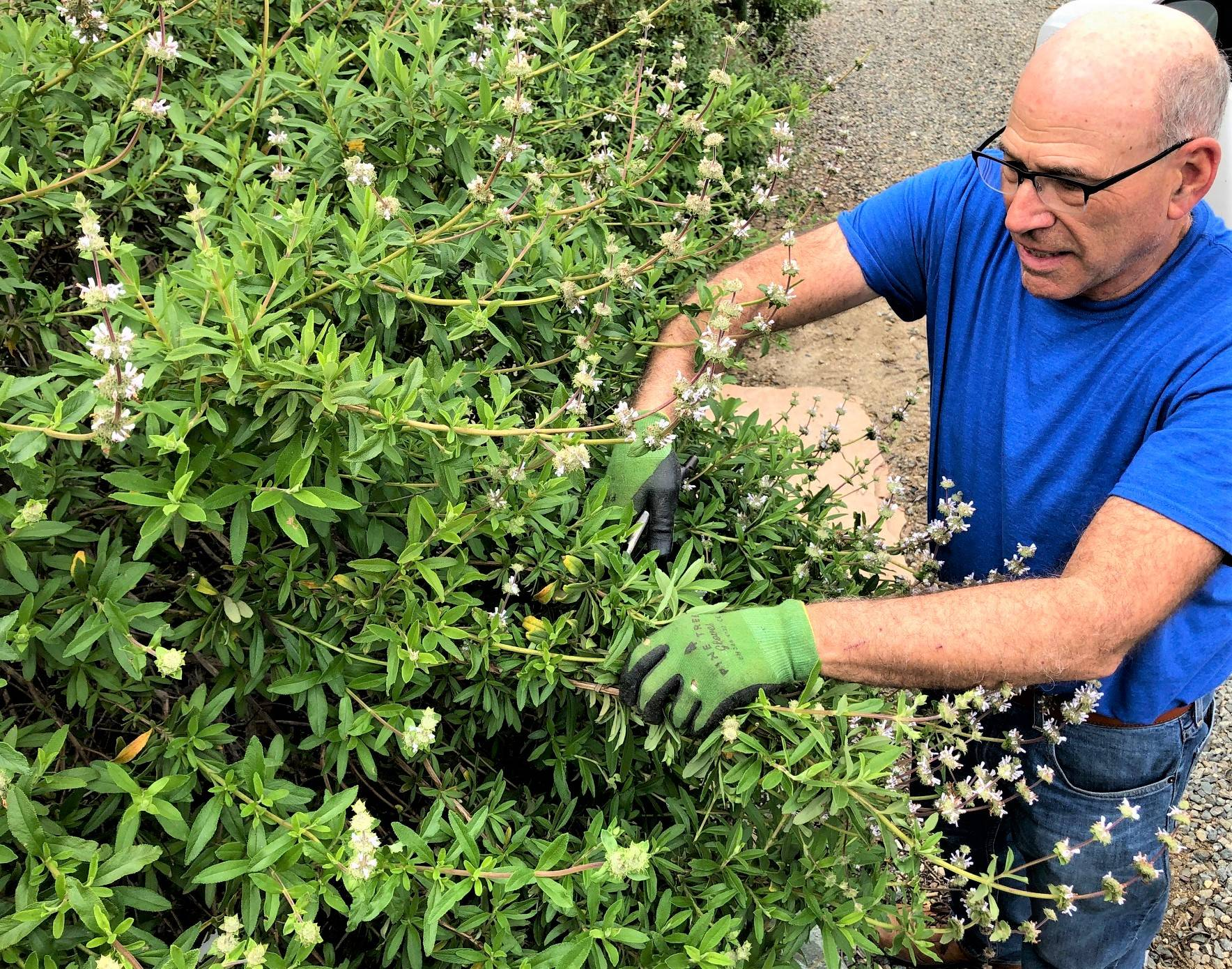 High Quality Organics Express founder Jerry cutting sage leaves after blossom