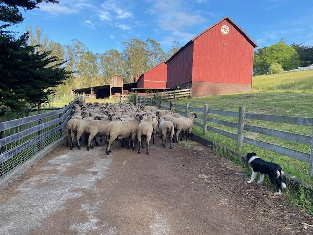 Sonoma Wool Company home ranch, Pozzi Ranch sheep preparing to be sheared