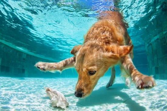 A golden retriever dives into the bottom of a blue-green swimming pool and examines a white seashell