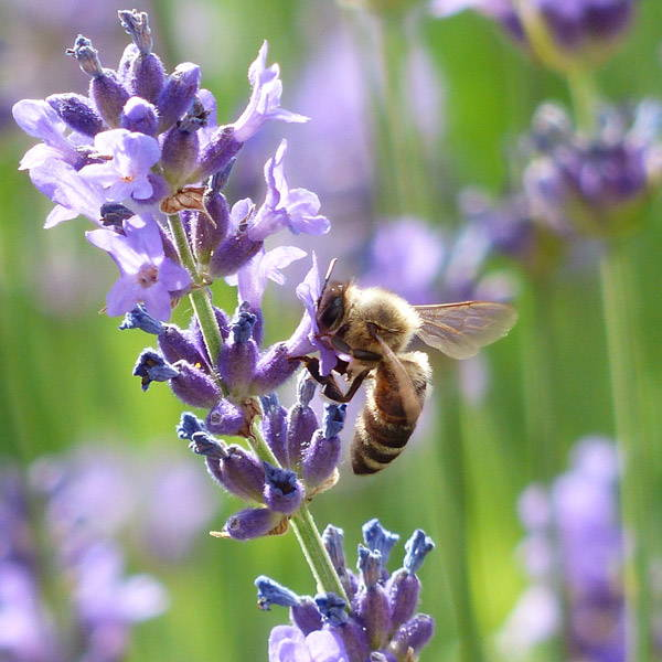 Honeybee sipping nectar from a lavender blossom