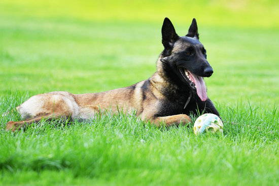 A brown and black Belgian Malinois lays in green grass with its ears up and tongue out and a ball sitting just in front.