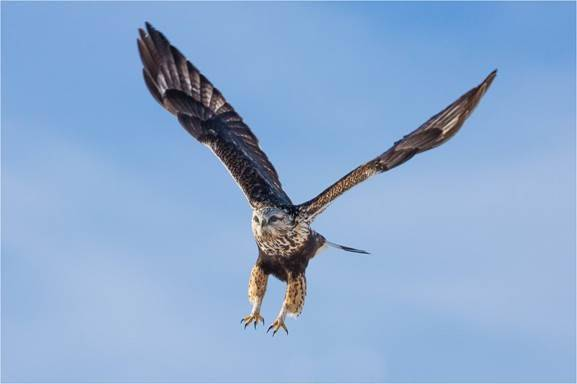 A photo of a hawk flying in the sky.