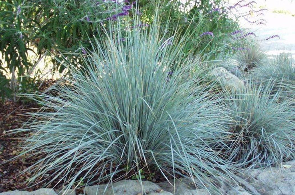 blue-fescue-grass