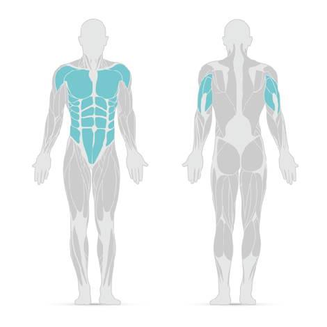 Grafik mit Muskeln, die durch Liegestütze trainiert werden