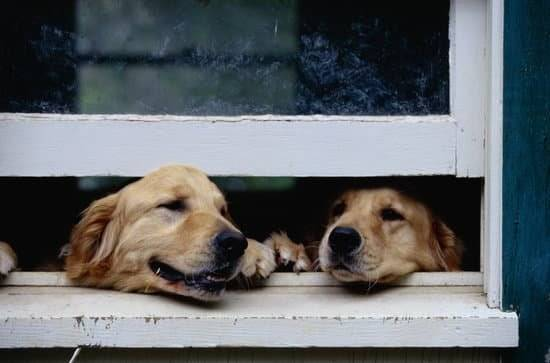 Two Golden Retrievers tryig to get out of a white window