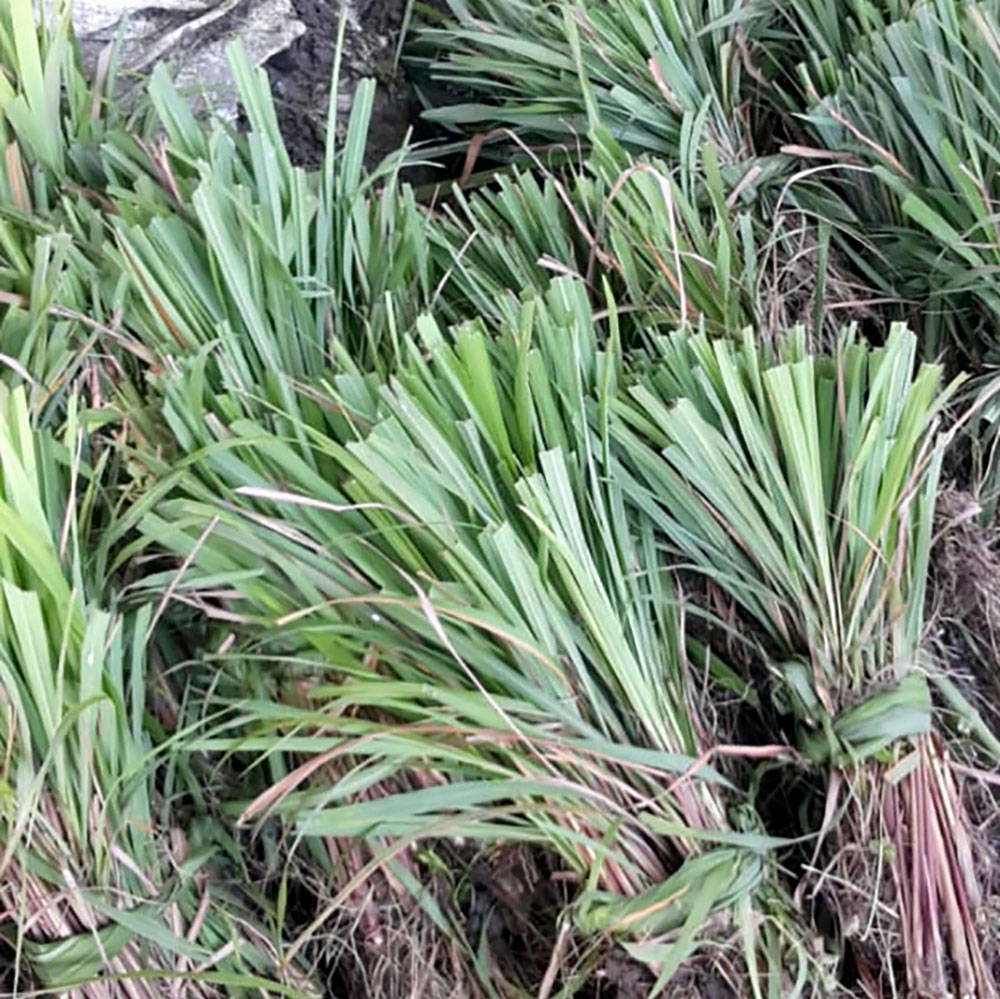 Bundles of rhodinol rich lemongrass