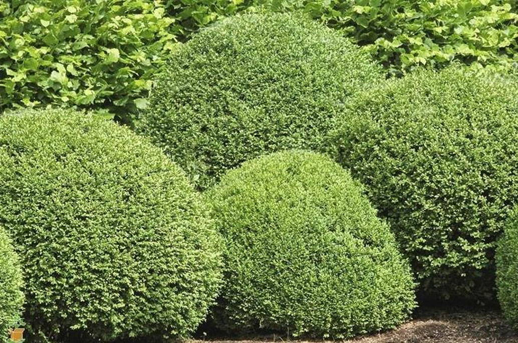Evergreen Shrubs For Shade Top 17 Choices Plantingtree
