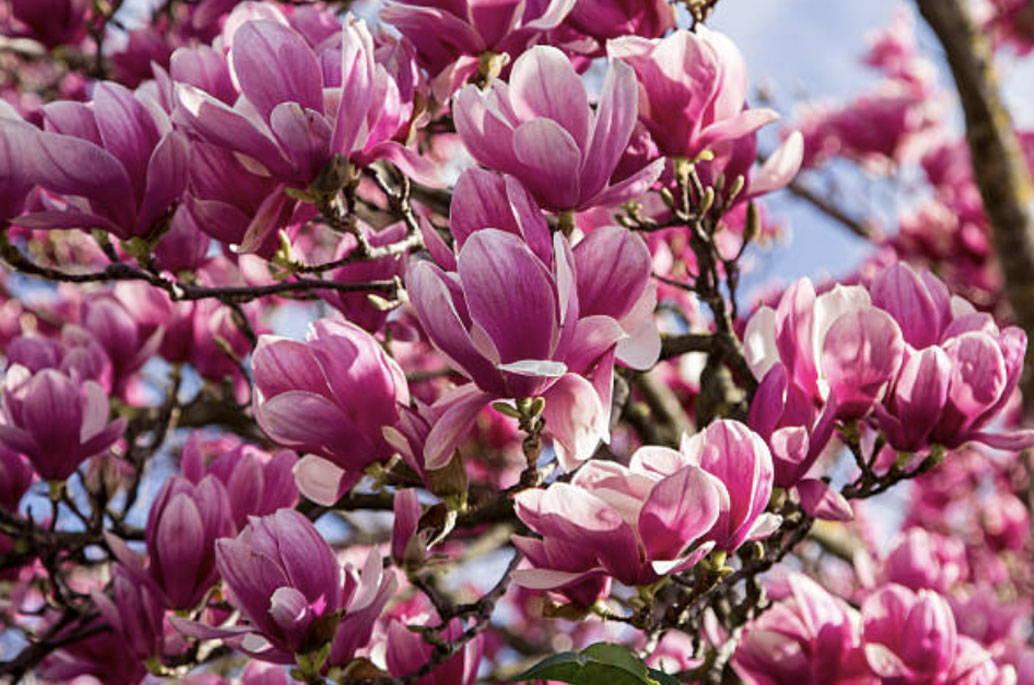 Jane Magnolia Tree Facts Plantingtree