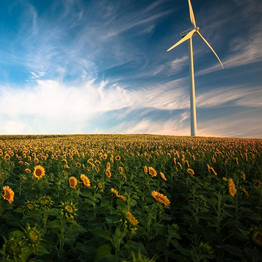 A wind energy turbine stands in a field of sunflowers