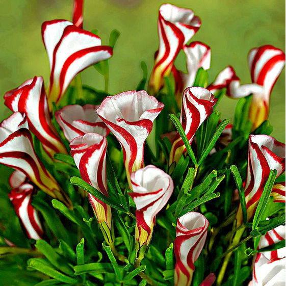 bloembol oxalis