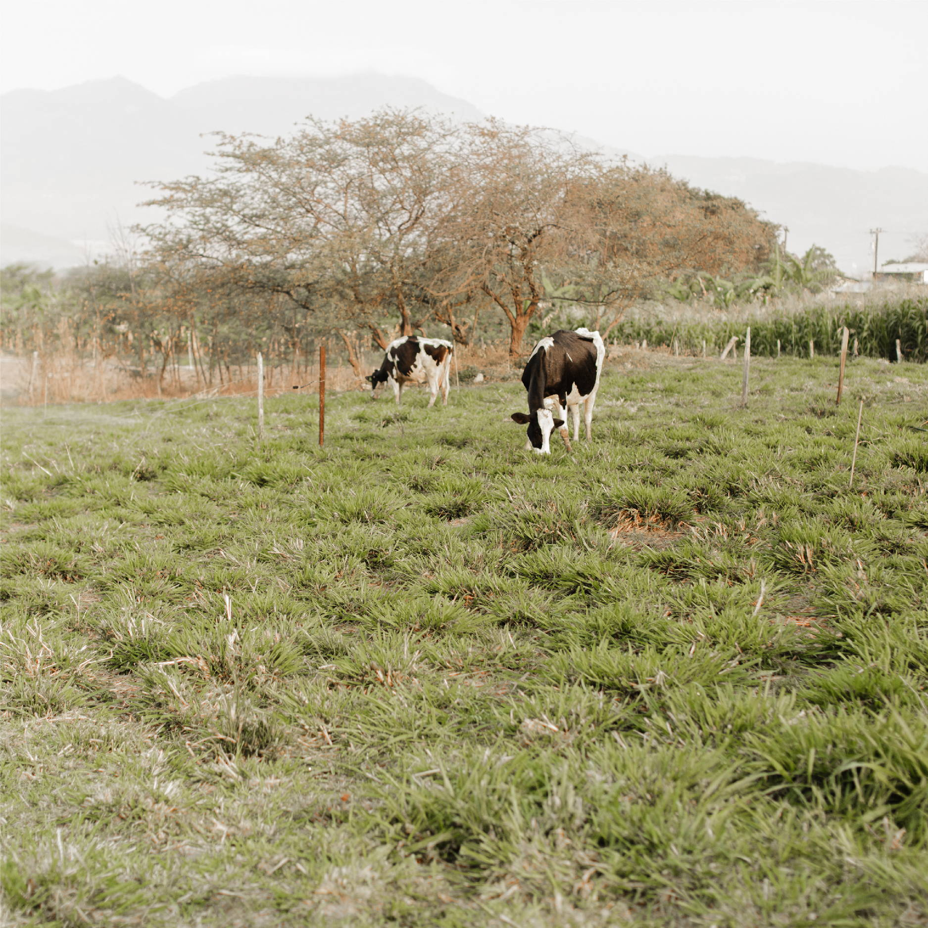 Two cows graze in a lush Honduran field with a large tree in the background.
