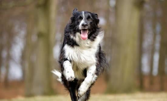 A black and white border collie running through a field