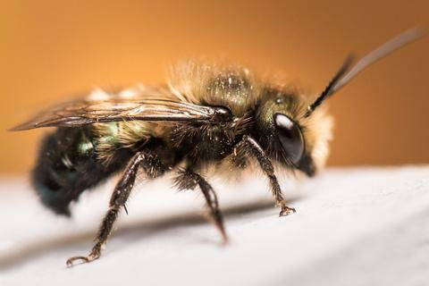 Everything You Need to Know Before Keeping Mason Bees - Bee Built