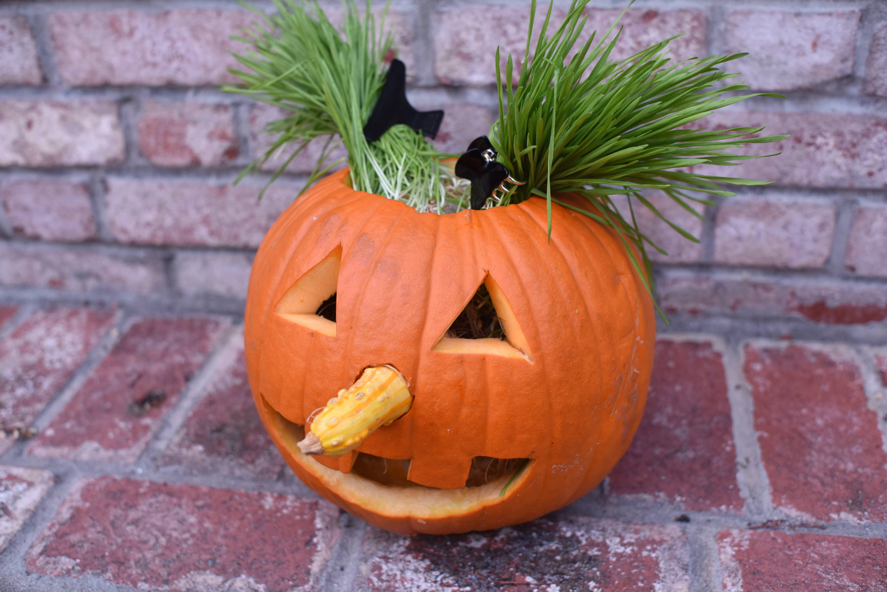 Carved pumpkin jack-o-lantern with homegrown wheatgrass hair.